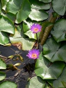 Waterlillies at Lake Hévíz, Hungary