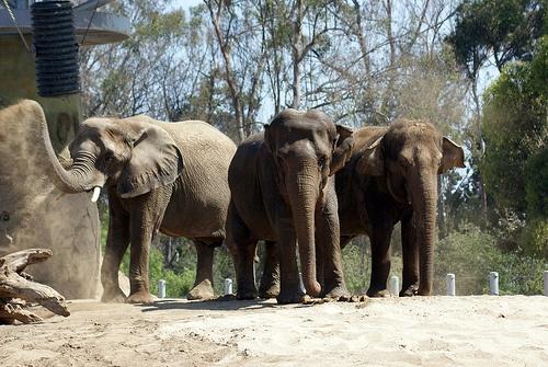 Elephant Odyssey in San Diego Zoo Photo: Cynr on Flickr