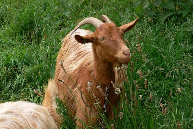 Golden Guernsey Goats on Guernsey - Food in Guernsey Photo: Heatheronhertravels.com