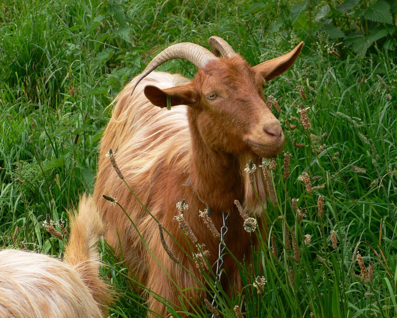 Golden Guernsey Goats - Guernsey Food Photo Heatheronhertravels.com