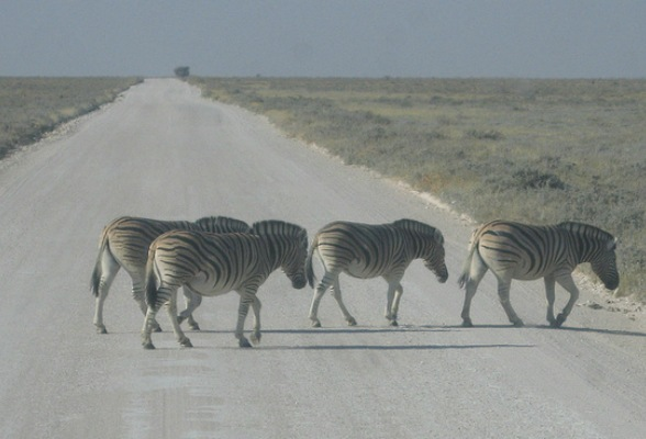 Zebra Crossing at Etosha National Park, Namibia Photo: Guy Cowper at Heatheronhertravels.com
