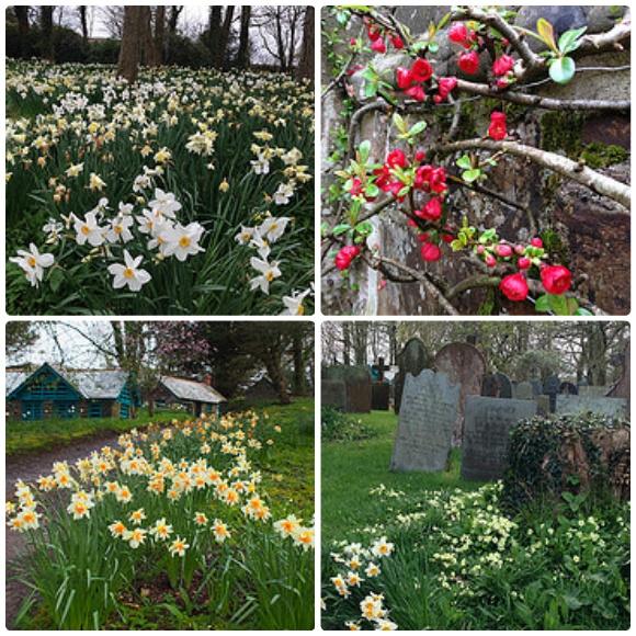Daffodils by Clovelly Court, North Devon