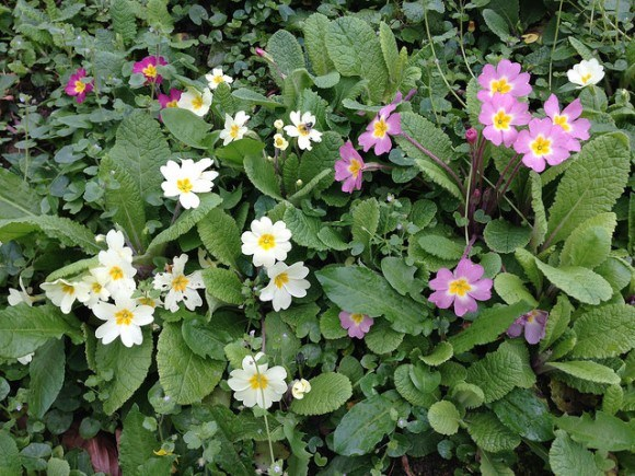Primroses outside Beech Cottage, Penhaven Country Cottages in Devon