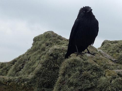 Jackdaw on Skomer Island in Wales Photo: Heatheronhertravels.com