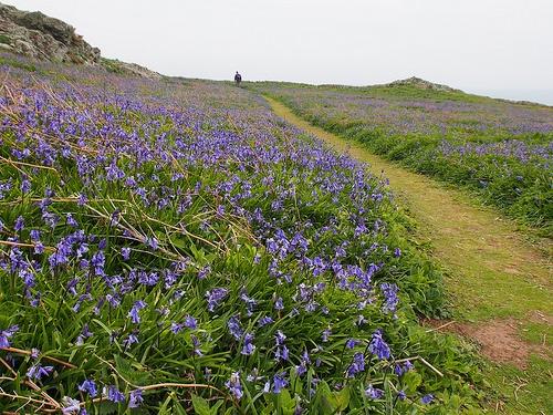 Bluebell Path on Skomer Island in Pembrokeshire Photo: Heatheronhertravels.com