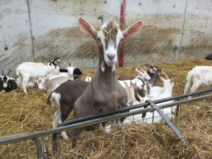 Meeting the goats at Broughgammon Farm Heatheronhertravels.com
