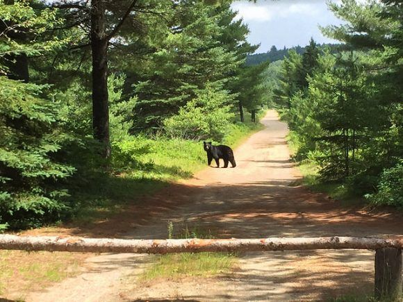 Watching a Black Bear at Algonquin
