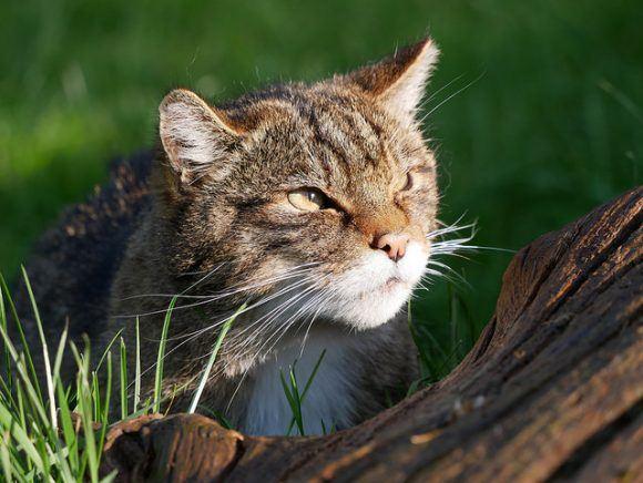 Scottish Wildcat at British Wildlife Centre Photo: Heatheronhertravels.com