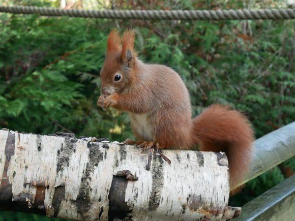 Red squirrel with Rope Photo: Heatheronhertravels.com