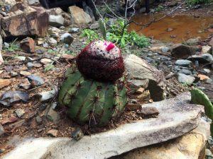 Cactus at Arikok National Park Photo: Heatheronhertravels.com