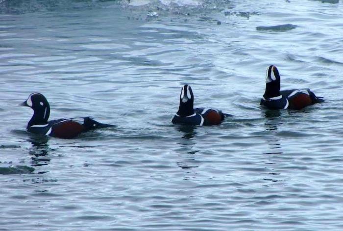 Harlequin ducks in Iceland