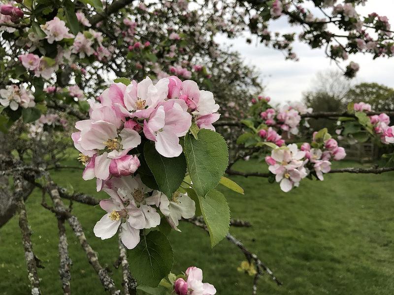 Apple blossom near Lurgashall West Sussex