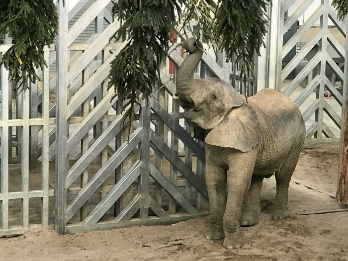 Bristol Christmas Events - Elephant at Noahs Ark Zoo Farm