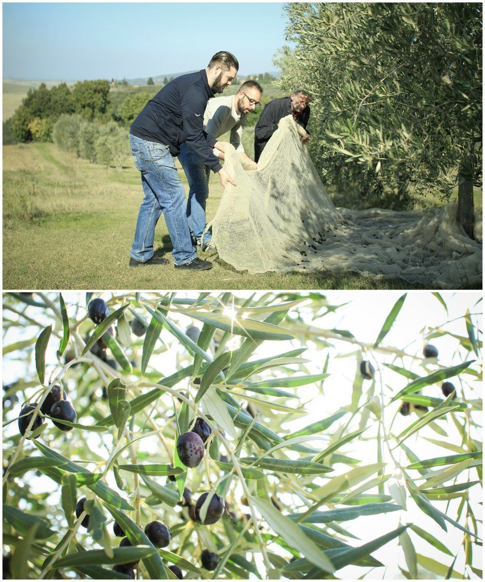 Tuscany food - Olive harvest at La Capanne with Bookingsforyou