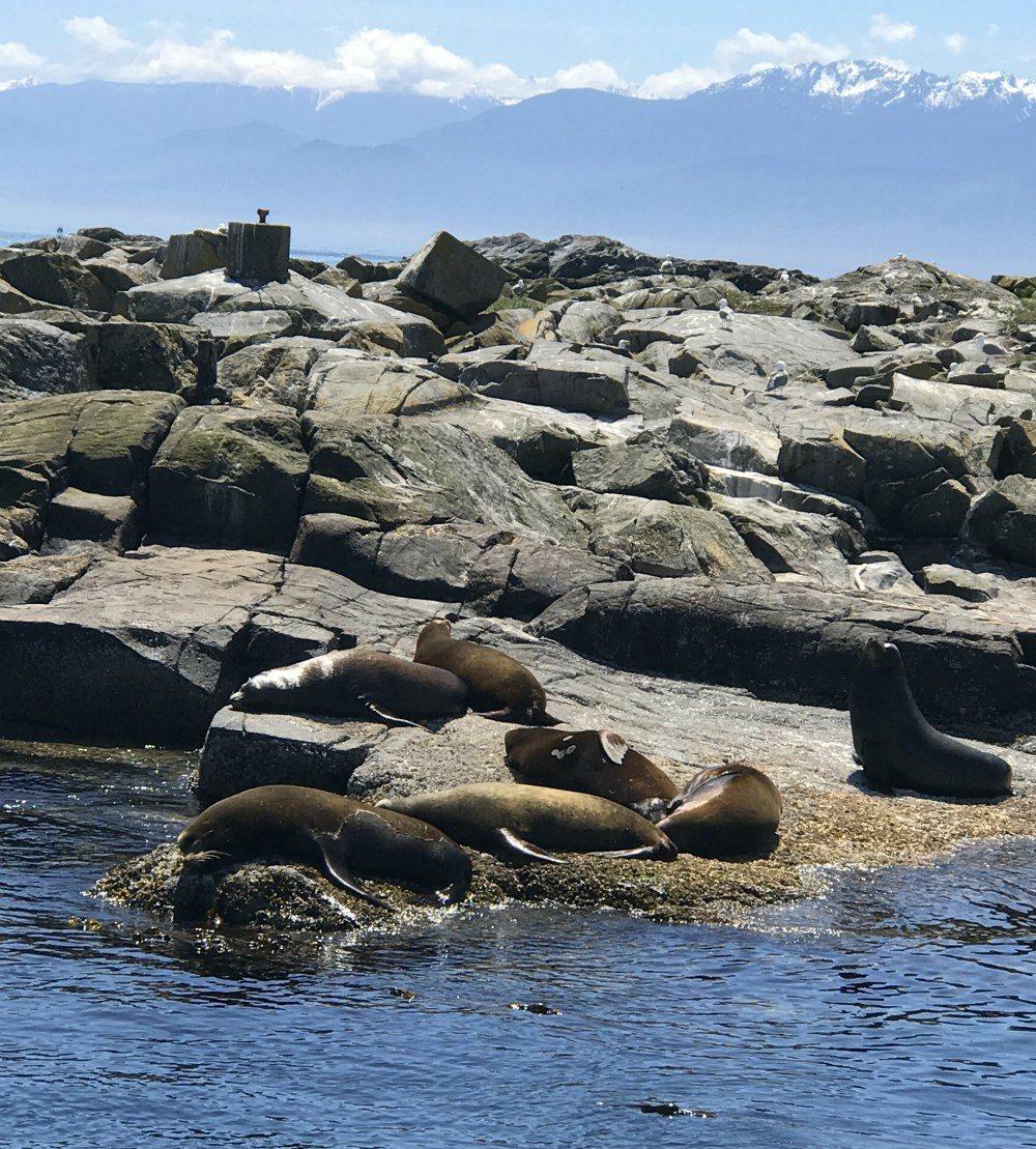 Seals on trip from Victoria Photo- Heatheronhertravels.com