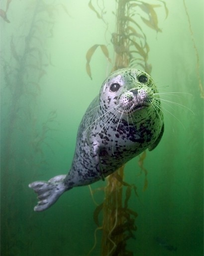 Snorkeling with seals in Nanaimo Photo Sundown Diving