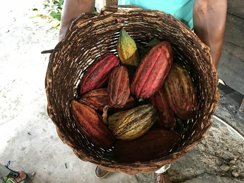Cocoa pods at Belmont Plantation