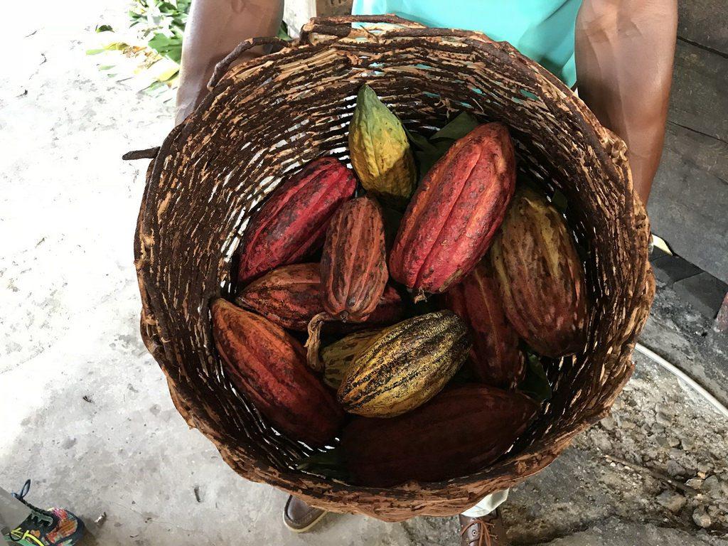 Grenada Chocolate fest - cocoa pods Photo Heatheronhertravels.com