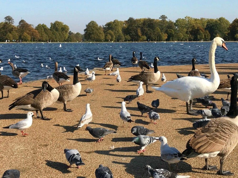 Ducks and Swans at the Round Pond in Kensington Gardens, London Heatheronhertravels