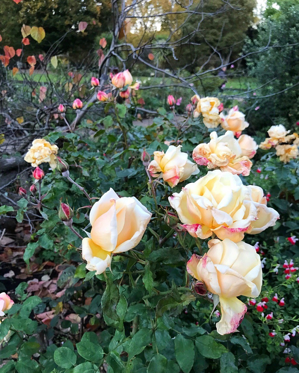 Roses in Hyde Park, London Photo Heatheronhertravels.com