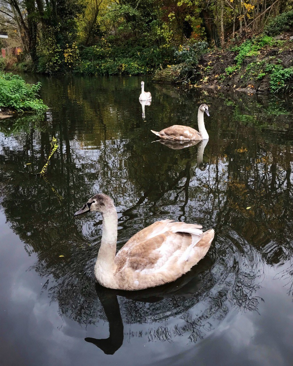 Things to do near Stroud - Swans on Stroud Canal with Michael Paul Holidays Photo Heatheronhertravels.com