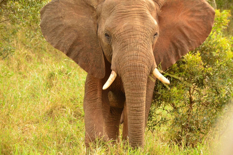 Elephant in Thanda Game Reserve South Africa Photo Amanda O'Brien