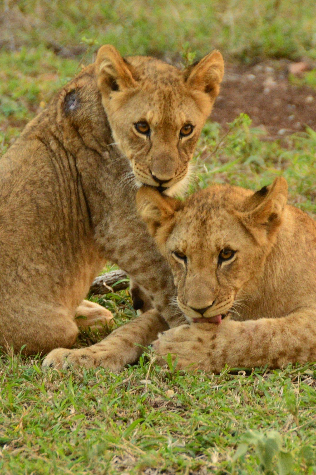 Lion in Thanda Game Reserve South Africa Photo Amanda O'Brien