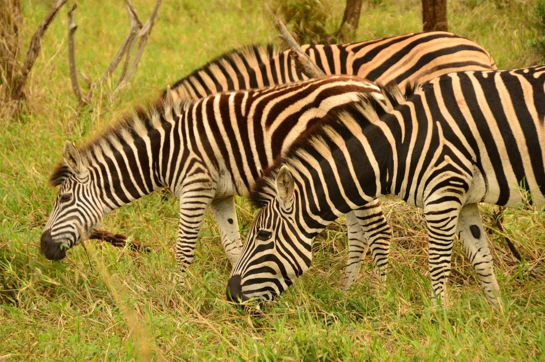 Zebra in Thanda Game Reserve South Africa Photo Amanda O'Brien