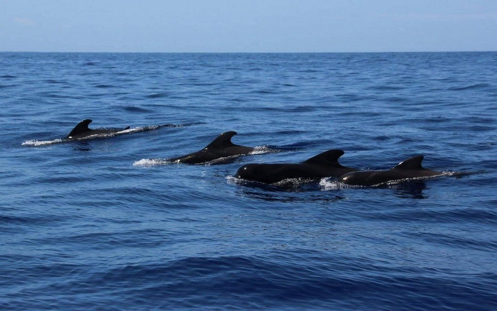 Pilot whales in channel between Tenerife and La Gomera