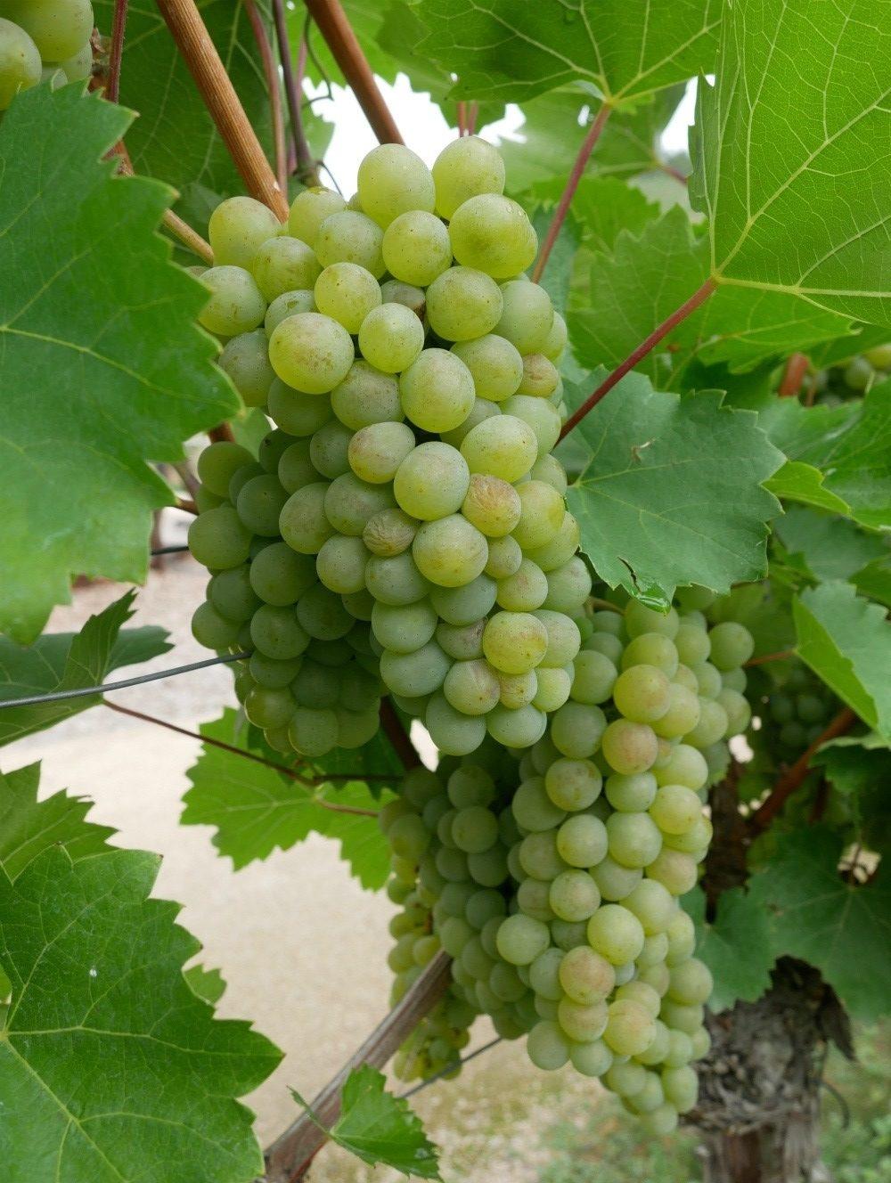 Grapes at Schloss Wackerbarth winery near Dresden, Saxony, Germany Photo Heatheronhertravels.com