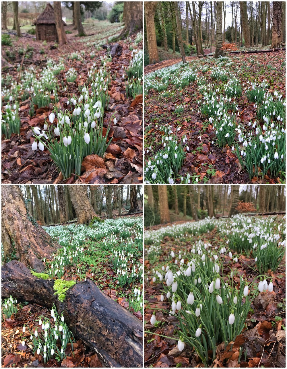 Snowdrops at Painswick Rococo Gardens in the Cotswolds Photo- Heatheronhertravels.com