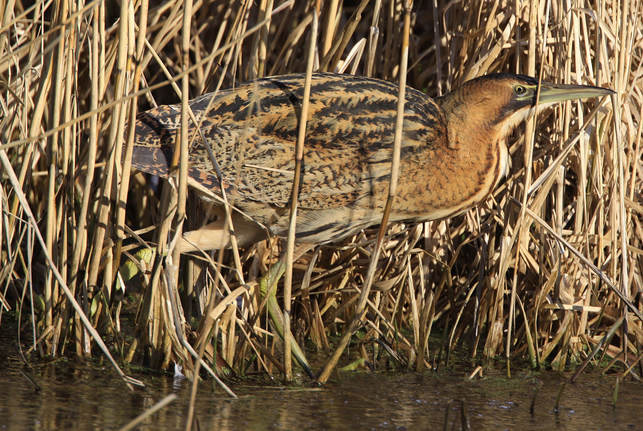 Bittern - Newport Wetlands Wales Photo: © Andy Karran Gwent Wildlife Trust