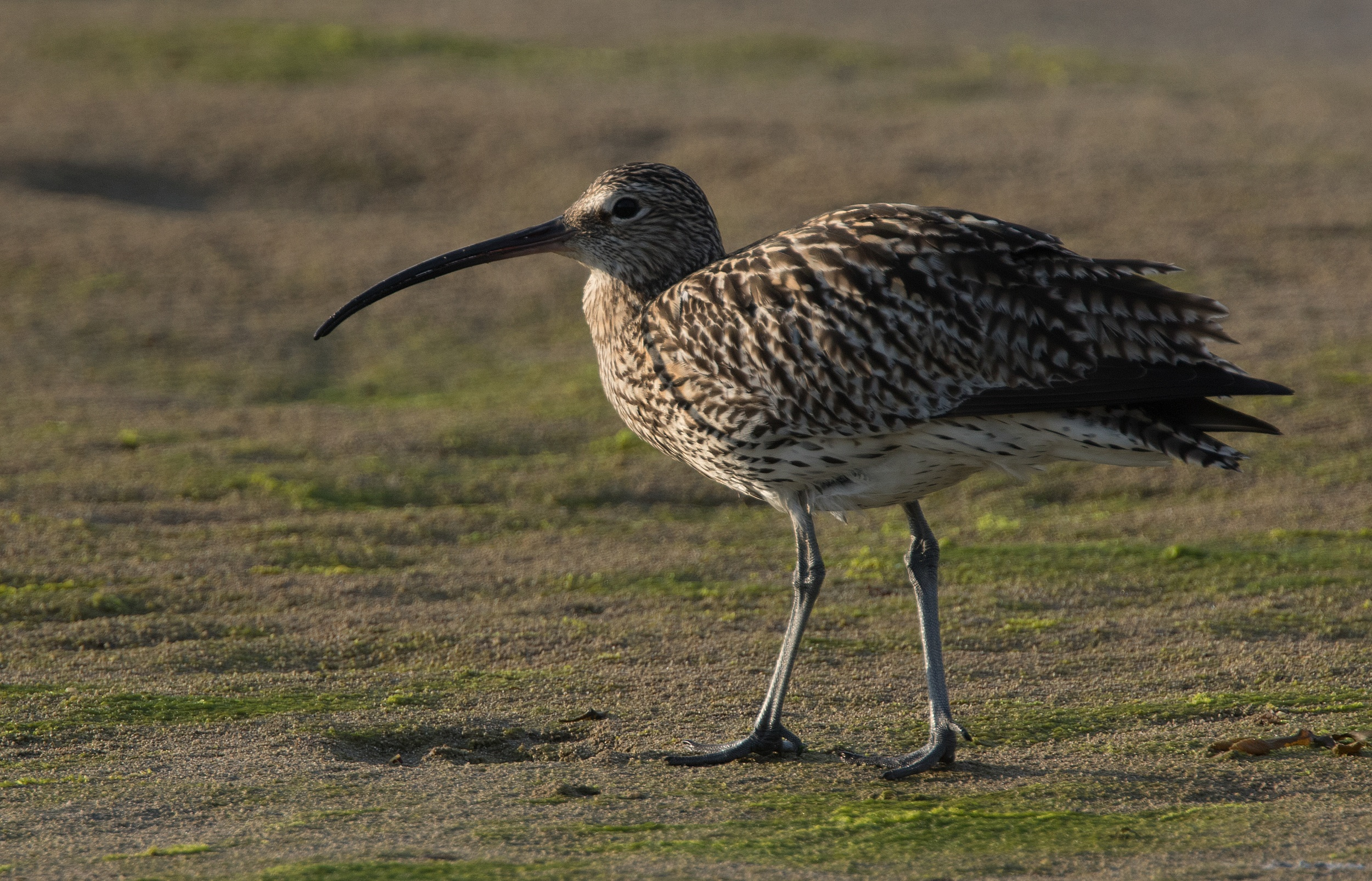 Curlew on beach - Newport Wetlands Wales Photo: © Andy Karran Gwent Wildlife Trust