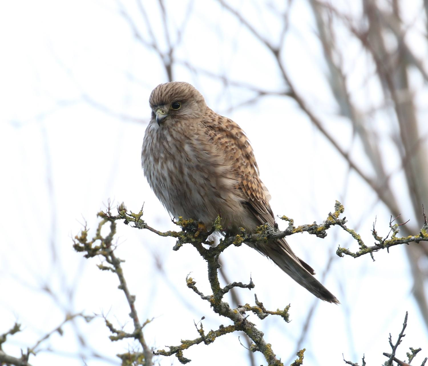 Kestrel at Newport Wetlands Wales Photo Jeremy White