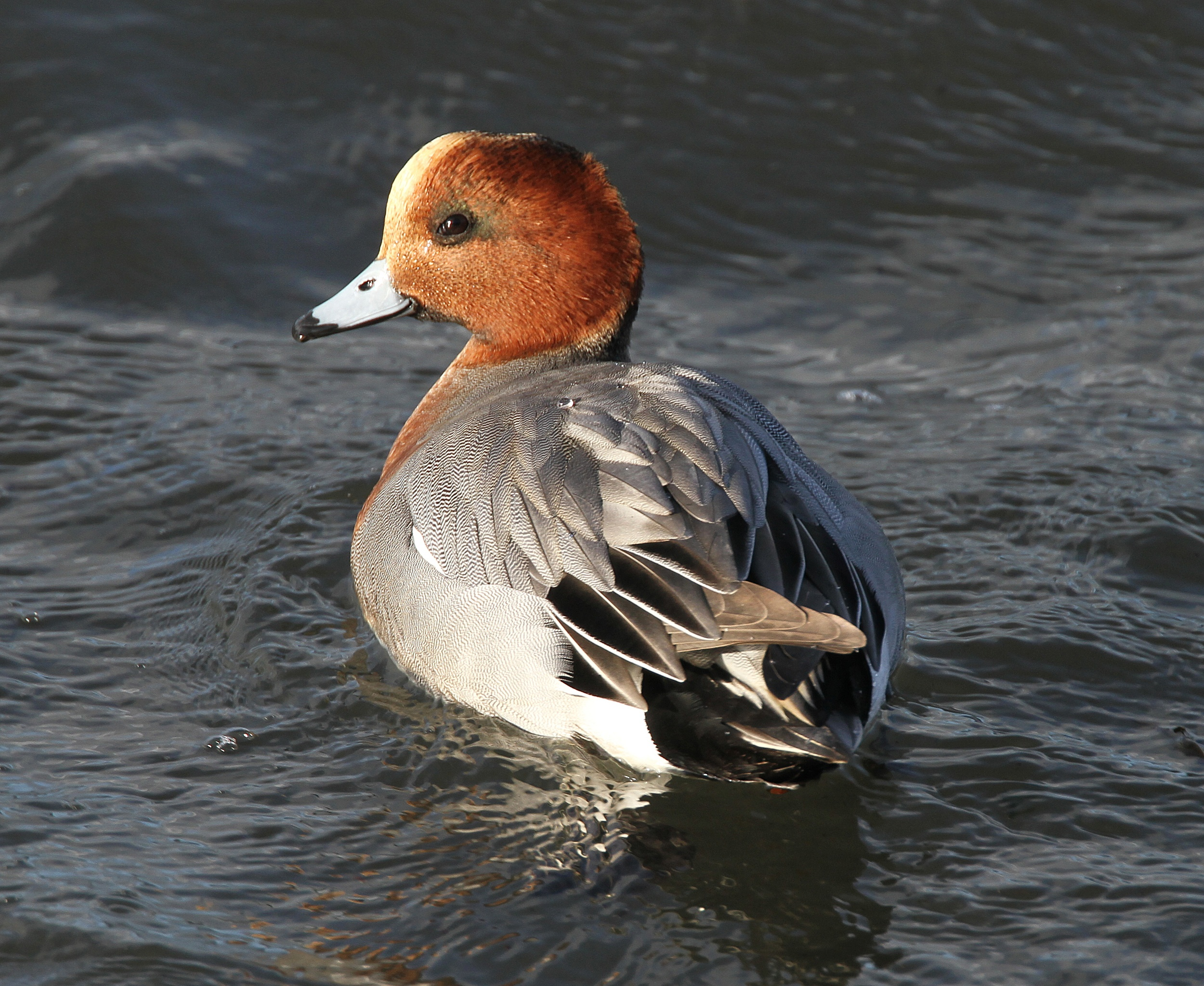 Wigeon- Newport Wetlands Wales Photo: © Andy Karran Gwent Wildlife Trust