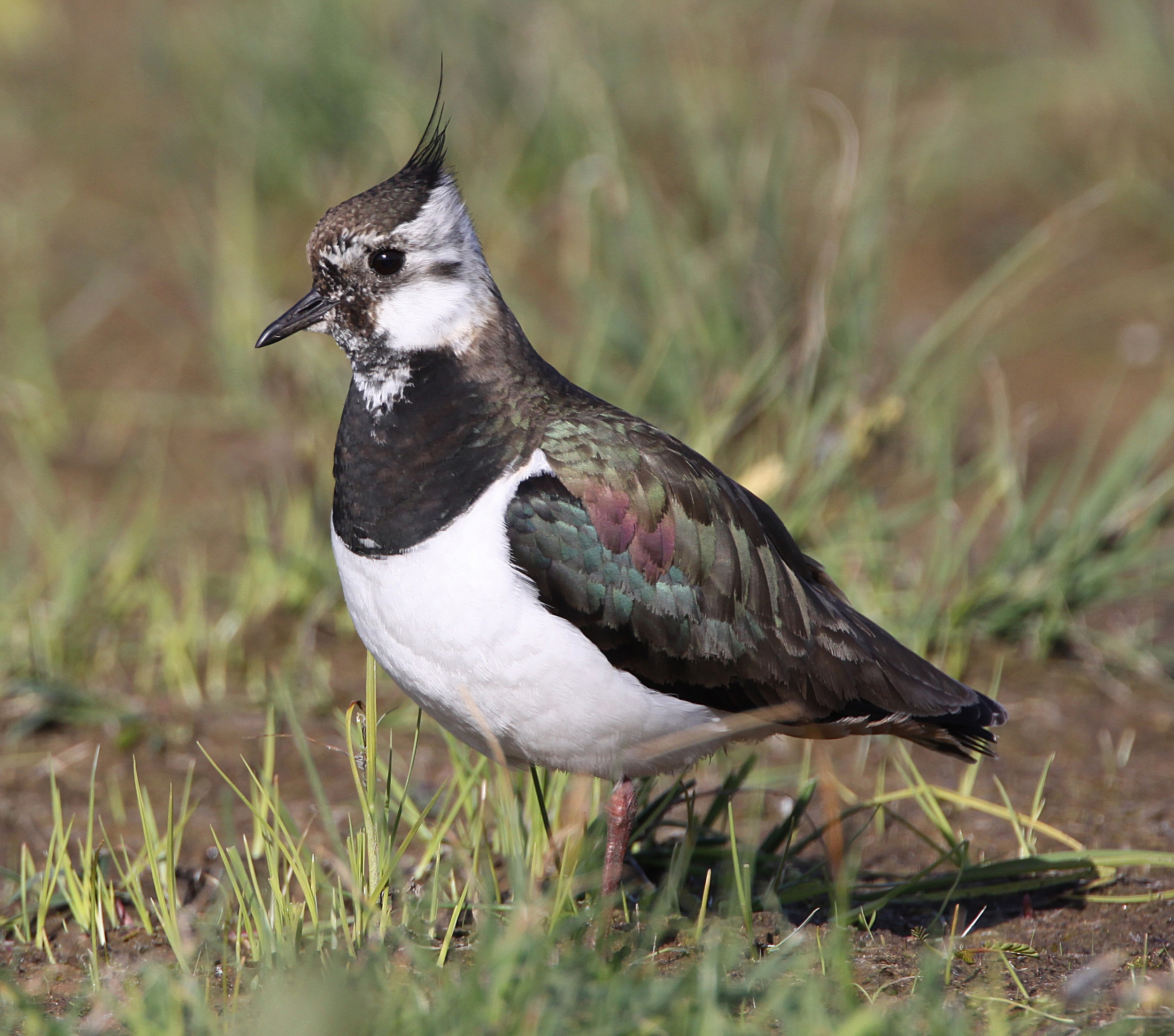 Lapwing - Newport Wetlands Wales Photo: © Andy Karran Gwent Wildlife Trust