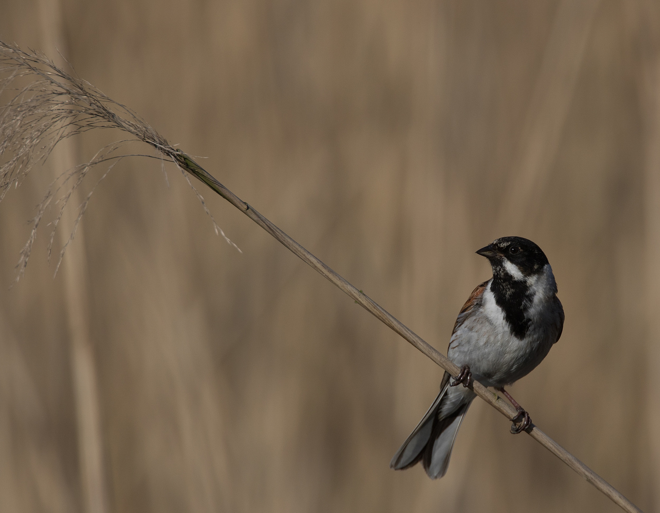 Reed Bunting on Reed - Newport Wetlands Wales Photo: © Andy Karran Gwent Wildlife Trust