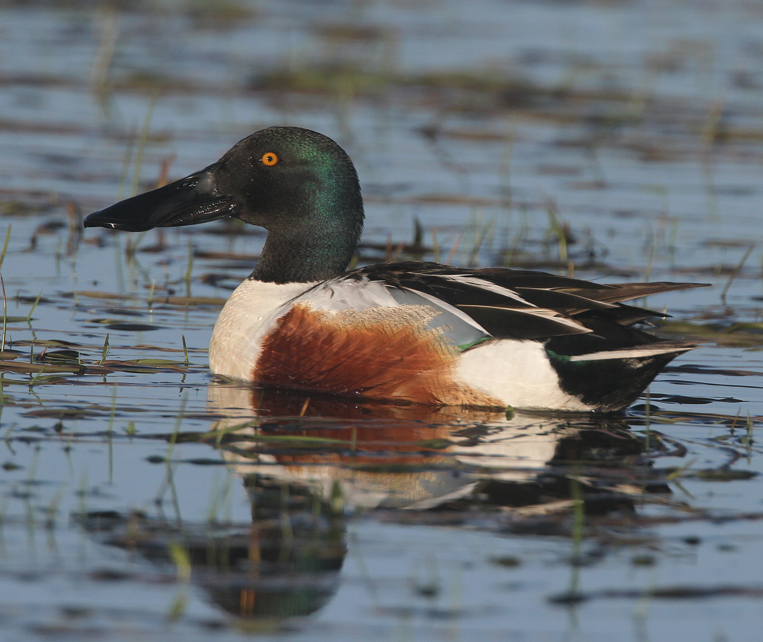 Shoveler - Newport Wetlands Wales Photo: © Andy Karran Gwent Wildlife Trust
