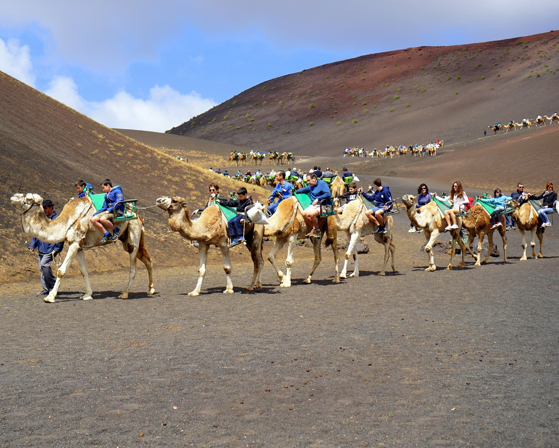 Camels in Timanfaya National Park Lanzarote Photo Iulian Ursu