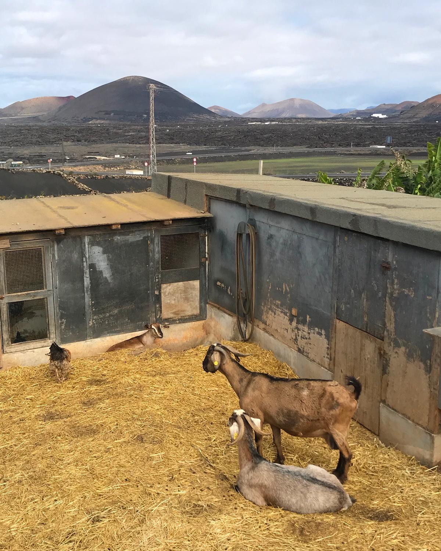 Goats at Vega Volcan Winery in Lanzarote Photo Heatheronhertravels.com